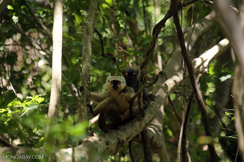 Pair of Sanford's brown lemur (Eulemur sanfordi) [madagascar_ankarana_0140]