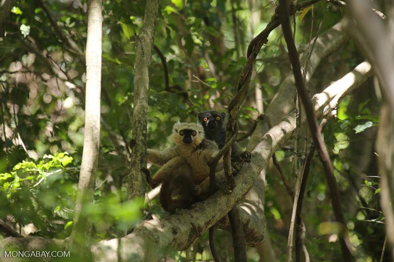 Pair of Sanford's brown lemur (Eulemur sanfordi) [madagascar_ankarana_0141]