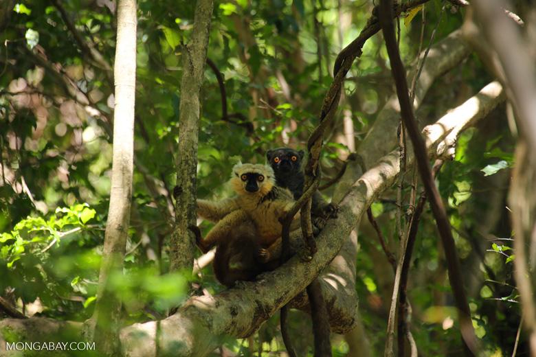 Pair of Sanford's brown lemur (Eulemur sanfordi) [madagascar_ankarana_0142]