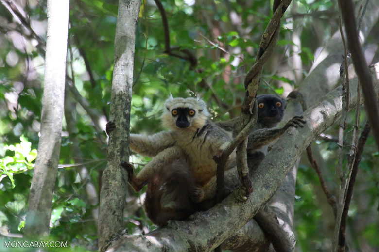 Pair of Sanford's brown lemur (Eulemur sanfordi) [madagascar_ankarana_0146]