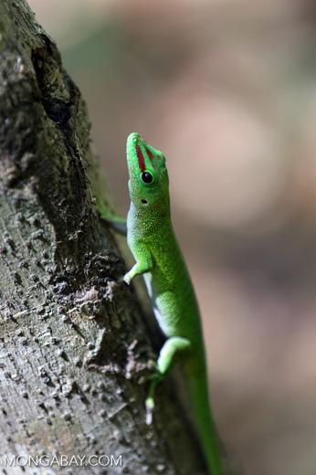 Madagascar giant day gecko (Phelsuma madagascariensis grandis) [madagascar_ankarana_0149]
