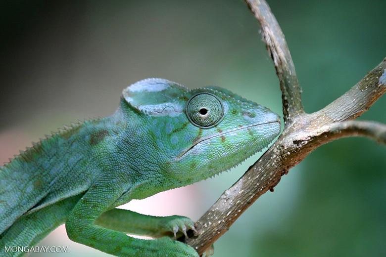 Female Oustalet's chameleon