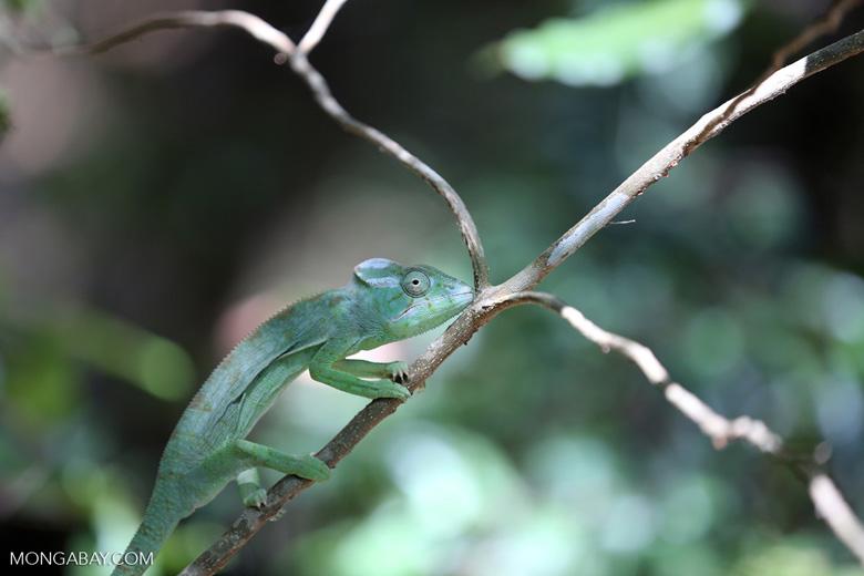 Female Oustalet's chameleon [madagascar_ankarana_0154]