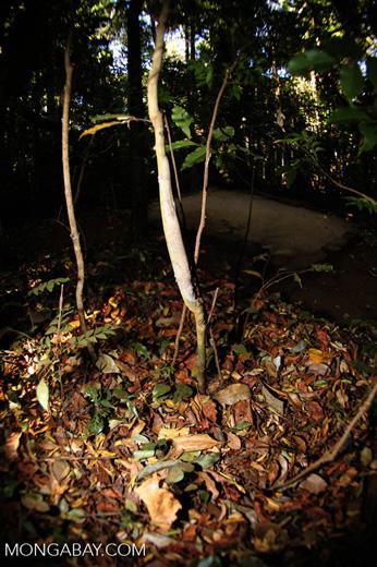 Camouflaged Uroplatus gecko