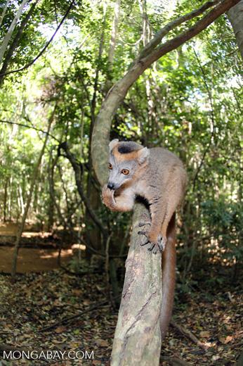 Crowned lemur (Eulemur coronatus) scavenging a campground [madagascar_ankarana_0201]
