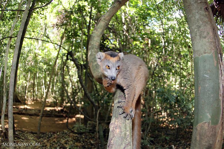 Crowned lemur (Eulemur coronatus) scavenging a campground [madagascar_ankarana_0202]