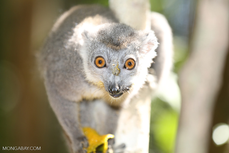 Female crowned lemur (Eulemur coronatus) [madagascar_ankarana_0222]
