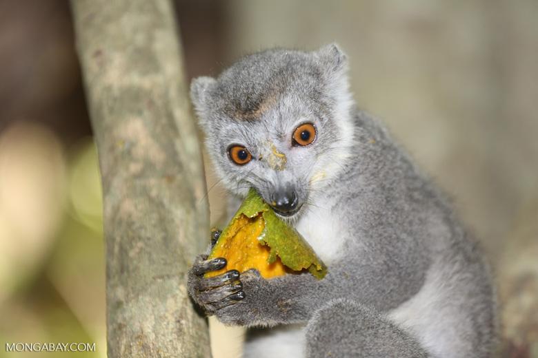 Female crowned lemur (Eulemur coronatus) [madagascar_ankarana_0236]
