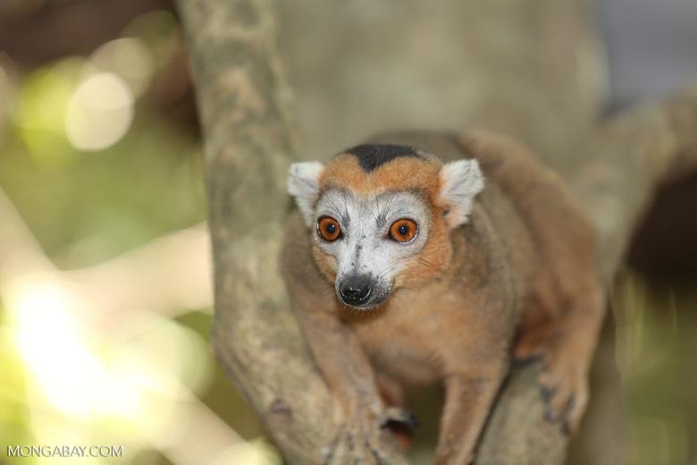 Male crowned lemur (Eulemur coronatus) [madagascar_ankarana_0245]