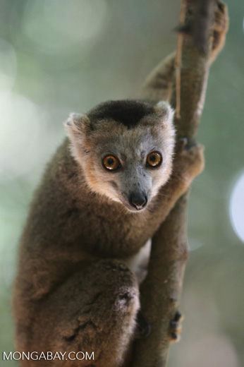 Juvenile crowned lemur (Eulemur coronatus) [madagascar_ankarana_0259]