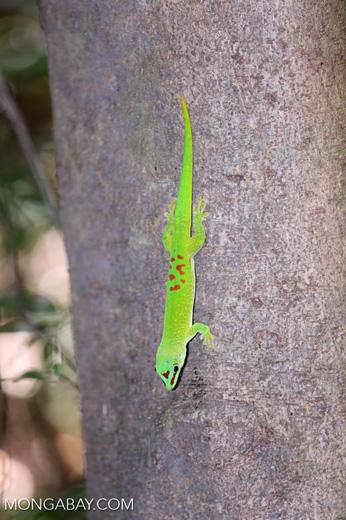 Madagascar giant day gecko (Phelsuma madagascariensis grandis) [madagascar_ankarana_0267]
