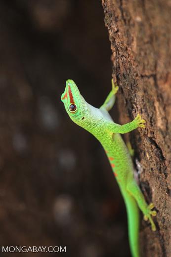 Madagascar giant day gecko (Phelsuma madagascariensis grandis) [madagascar_ankarana_0276]