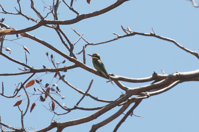Malagasy bee-eater