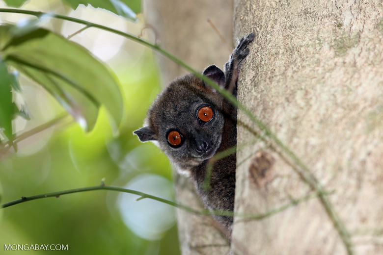 Ankarana sportive lemur (photo)