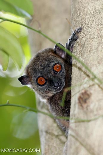 Lepilemur ankaranensis lemur