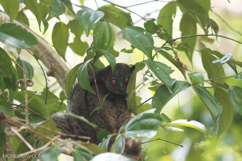 Ankarana sportive lemur (Lepilemur ankaranensis) [madagascar_ankarana_0315]