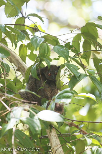 Ankarana sportive lemur (Lepilemur ankaranensis), an endangered species whose habitat is threatened by rosewood logging. Image by Rhett A. Butler.