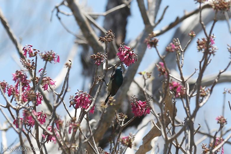 Sunbird [madagascar_ankarana_0356]
