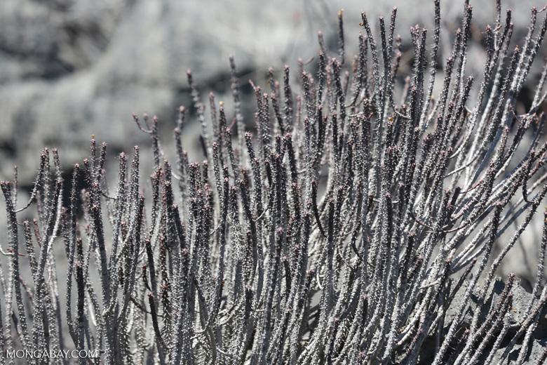 Tsingy vegetation [madagascar_ankarana_0388]