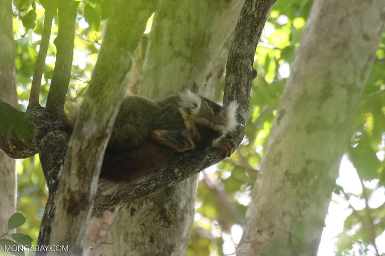 Sanford's brown lemur (Eulemur sanfordi) [madagascar_ankarana_0434]