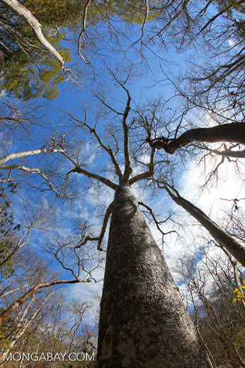 Diego Suarez Baobab (Adansonia suarezensis) [madagascar_ankarana_0454]