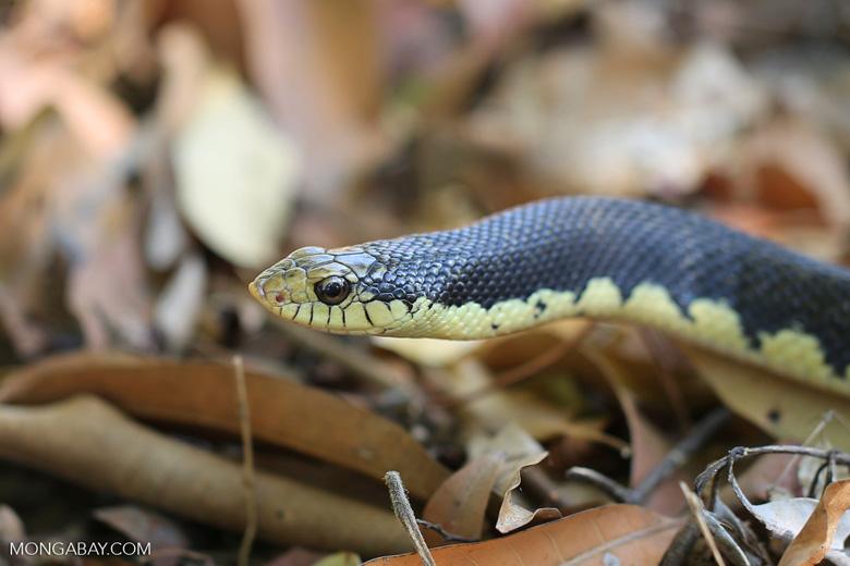 Giant Madagascan Hognose Snake (Leioheterodon madagascariensis) [madagascar_ankarana_0467]