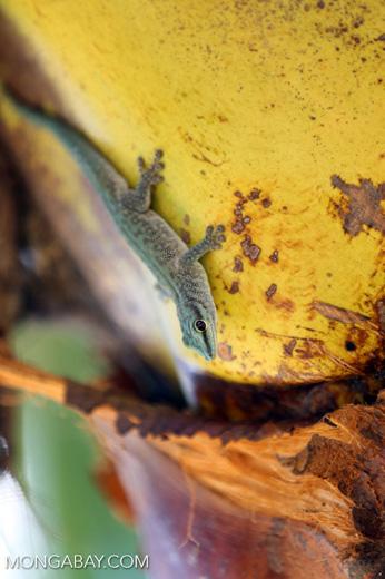 Abbott's Day Gecko (Phelsuma abbotti) [madagascar_diego_suarez_0009]