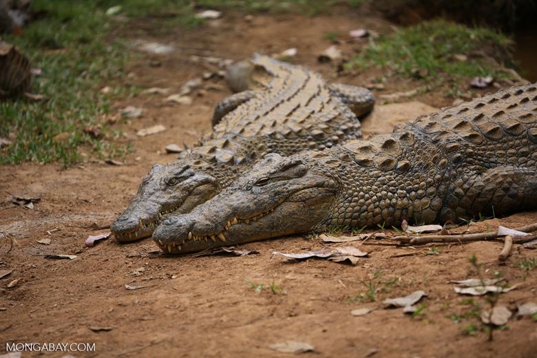 Nile crocodile in Madagascar [madagascar_herps_0004]
