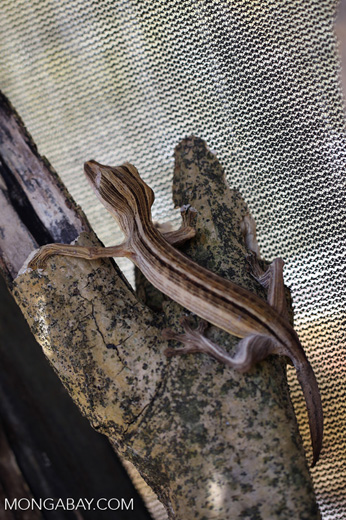 Uroplatus lineatus in captivity [madagascar_herps_0023]