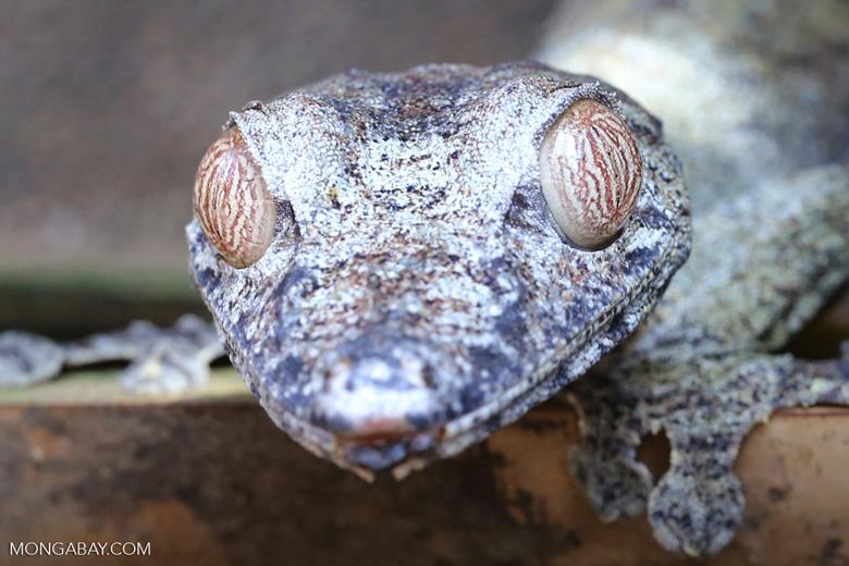 Uroplatus gecko [madagascar_herps_0029]