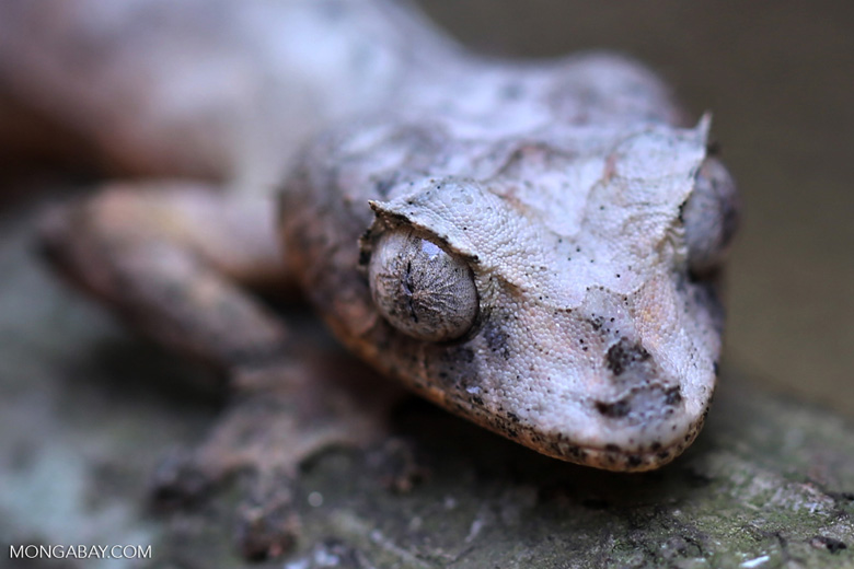 Uroplatus phantasticus [madagascar_herps_0030]