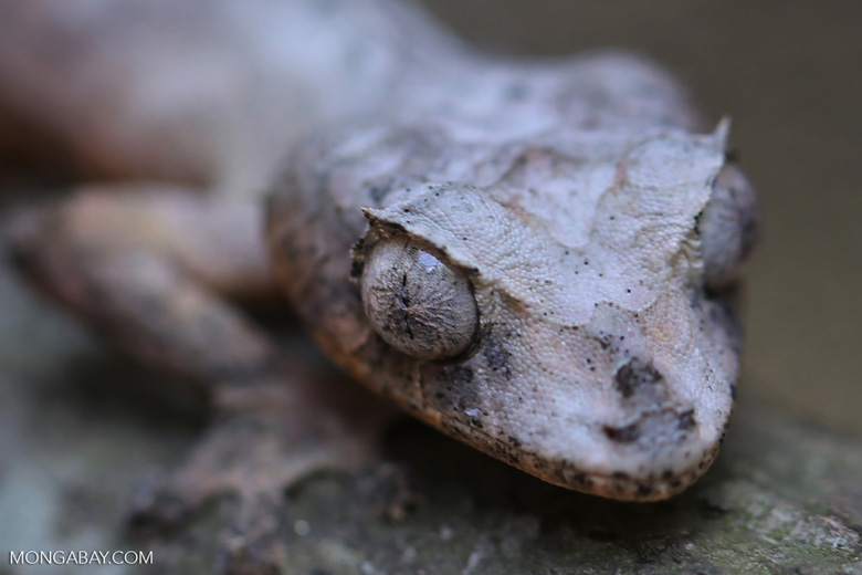 Uroplatus phantasticus [madagascar_herps_0032]