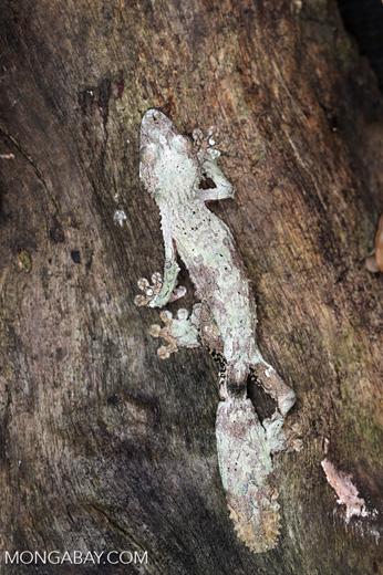 Uroplatus sikorae [madagascar_herps_0036]