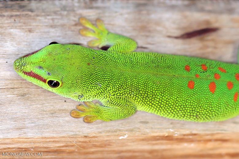 Madagascar giant day gecko (Phelsuma madagascariensis grandis) [madagascar_herps_0044]