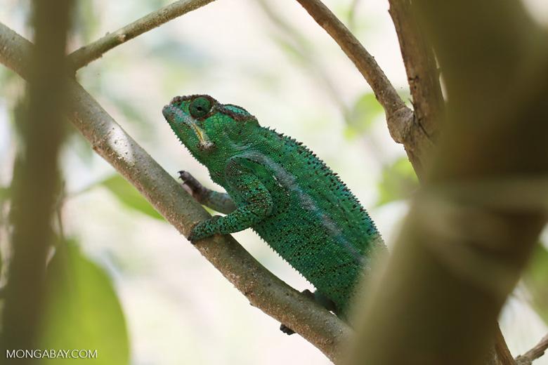 Panther chameleon (Furcifer pardalis) [madagascar_herps_0059]