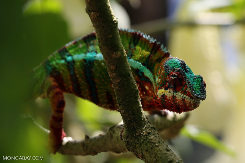 Panther chameleon (Furcifer pardalis) [madagascar_herps_0072]
