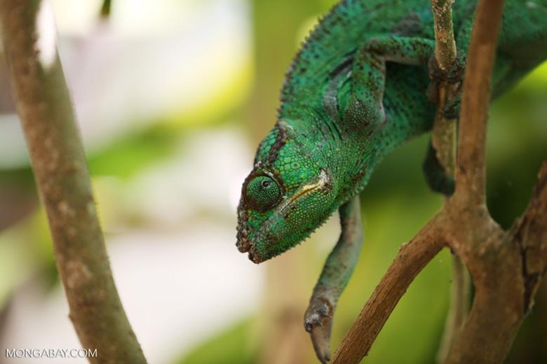 Panther chameleon (Furcifer pardalis) [madagascar_herps_0088]