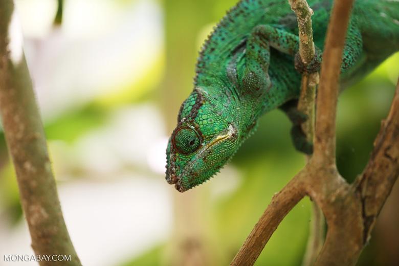 Panther chameleon (Furcifer pardalis) [madagascar_herps_0091]