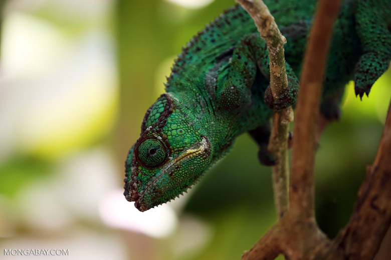 Panther chameleon (Furcifer pardalis) [madagascar_herps_0093]
