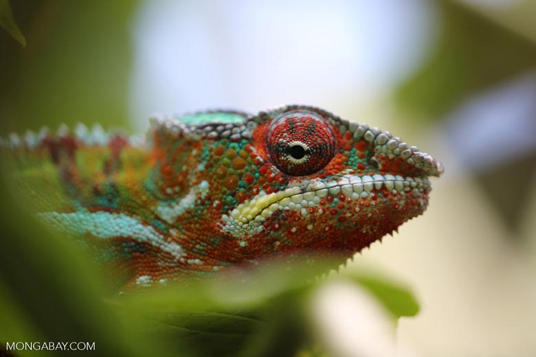 Panther chameleon (Furcifer pardalis) [madagascar_herps_0100]