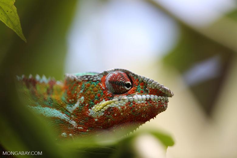 Panther chameleon (Furcifer pardalis) [madagascar_herps_0102]