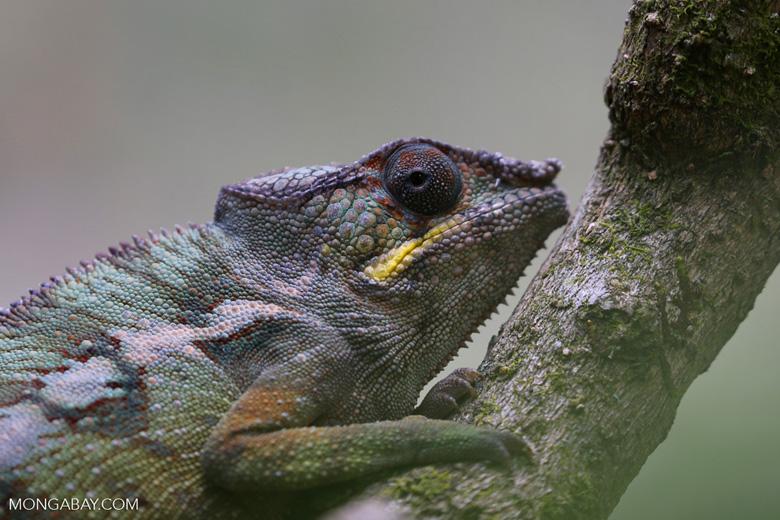 Panther chameleon (Furcifer pardalis) [madagascar_herps_0106]