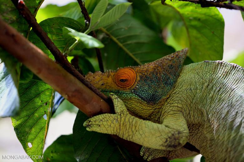 Parson's giant chameleon (Calumma parsonii)