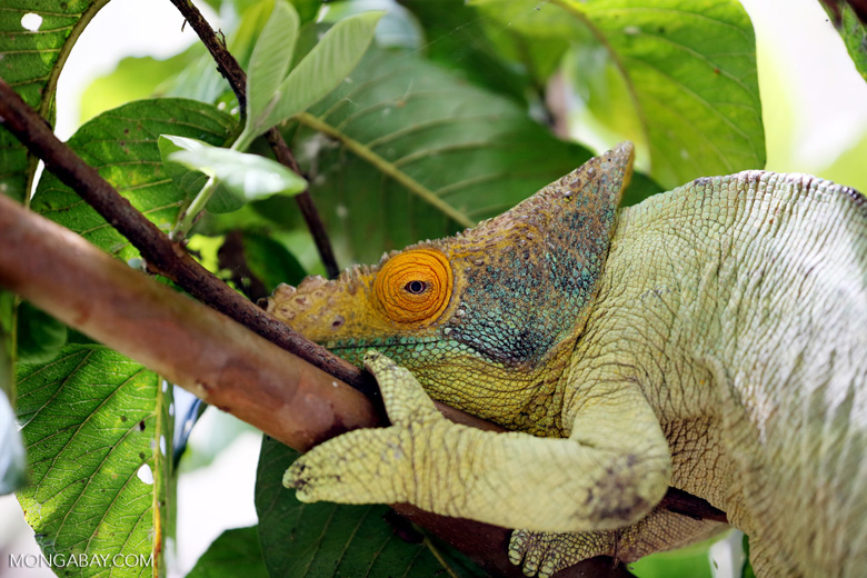 Parson's chameleon (Calumma parsonii) [madagascar_herps_0128]