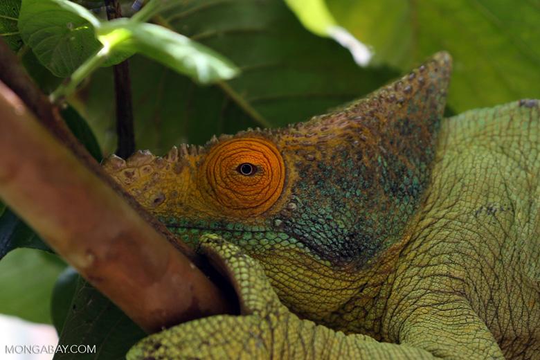 Parson's chameleon (Calumma parsonii) [madagascar_herps_0129]