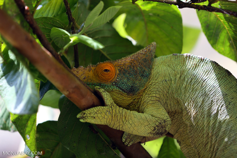 Parson's chameleon (Calumma parsonii) [madagascar_herps_0130]