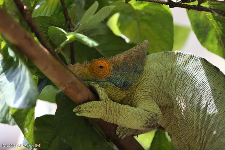 Parson's chameleon (Calumma parsonii) [madagascar_herps_0131]