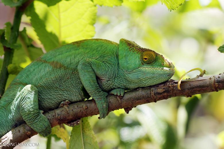 Parson's chameleon (Furcifer oustaleti)