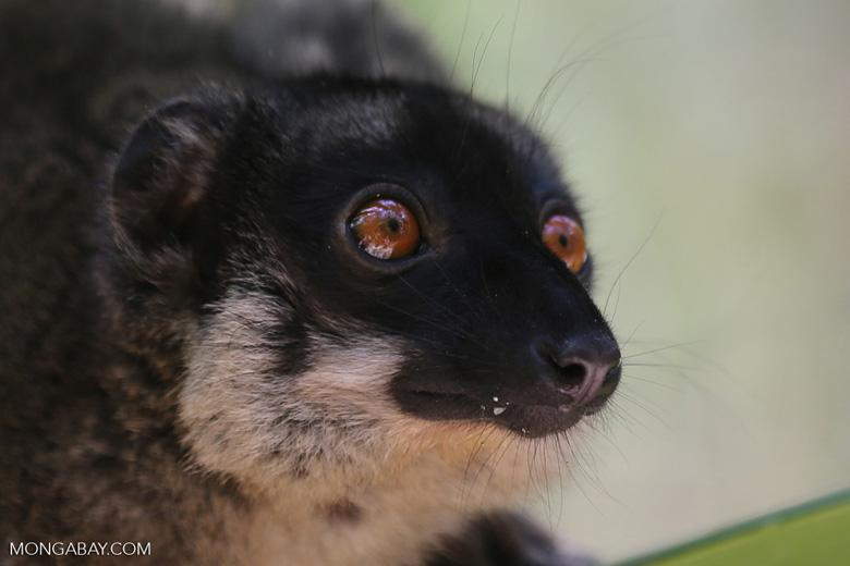 Common brown lemur (Eulemur fulvus) [madagascar_lemurs_0006]