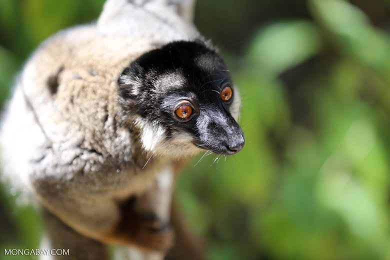 Common brown lemur (Eulemur fulvus) [madagascar_lemurs_0012]